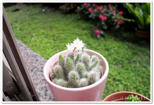 【我的小花園】仙人掌一盆變兩盆